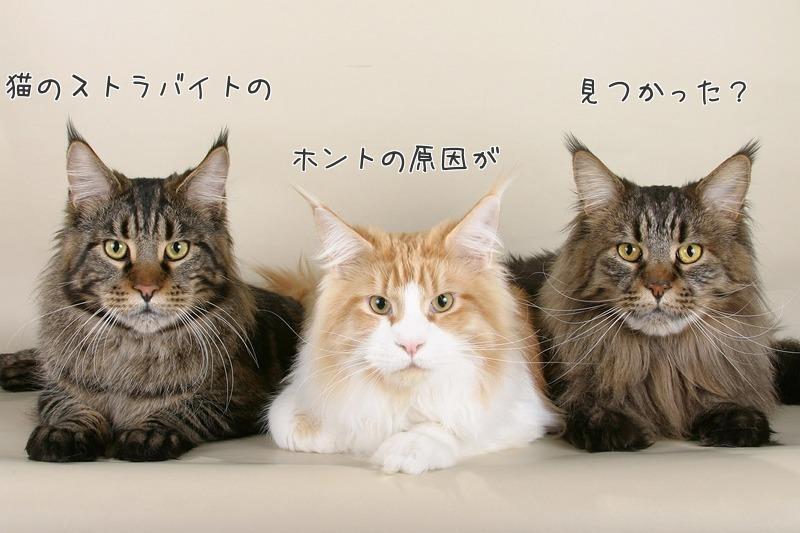 猫のストラバイト、本当の原因